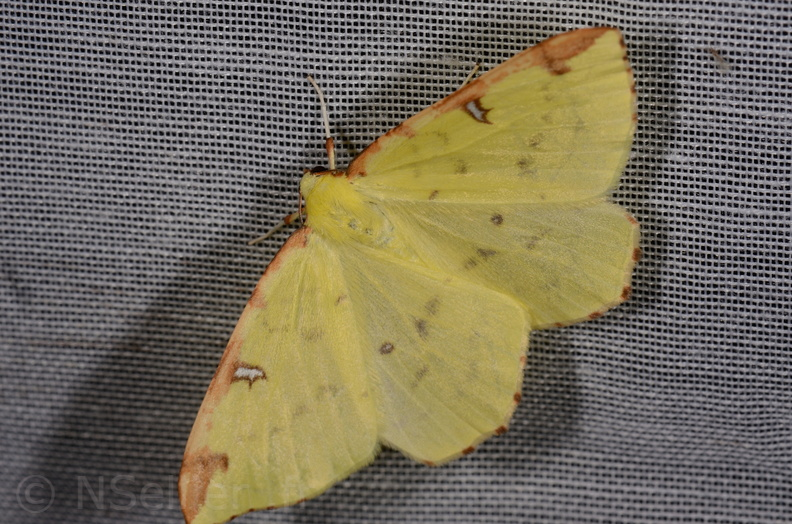 Chasse Aux Papillons - Marais d Yves - 11-09-2015 -Opisthograptis luteolata-2.JPG