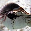 Nautilus pompilius -- Nautilus pompilius (Linnaeus, 1758) (Aquarium de La Rochelle)