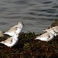 Calidris alba -- Calidris alba (Pallas, 1764) Bécasseau sanderling