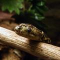 Epicrates sp -- Epicrates sp (Wagler, 1830) Cliftia Gray, 1849 Epicarsius Fischer, 1856 Homalochilus Fischer, 1856 Piesigaster Seoane, 1881 Boella Smith & Chiszar, 1992 (Île aux Serpents - La Trimouille)