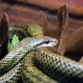 Elaphe climacophora -- Elaphe climacophora (Boie, 1826) Coluber climacophorus (Boie, 1826) Coluber virgatus (Schlegel, 1837) (nom vernaculaire japonais : Aodaishō) (Île aux Serpents - La Trimouille)
