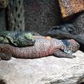 Uromastyx acanthinura -- Uromastyx acanthinura (Bell, 1825) Uromastrix richii (Gray, 1825) Uromastix acanthinurus nigerrimus (Hartert, 1913) (Île aux Serpents - La Trimouille)
