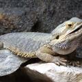 Pogona vitticeps -- Pogona vitticeps (Ahl, 1926) Amphibolurus vitticeps (Ahl, 1926) Agame barbu - Dragon barbu (Île aux Serpents - La Trimouille)