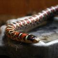 Lampropeltis pyromelana knoblochi -- Lampropeltis pyromelana knoblochi (Taylor, 1940) Serpent-roi de Chihuaha (Île aux Serpents - La Trimouille)