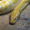 Python molurus (Albinos) -- Python molurus (Linnaeus, 1758) (Île aux Serpents - La Trimouille)