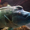 Cheilinus undulatus -- Cheilinus undulatus (Rüppell, 1835) Le napoléon (Aquarium de La Rochelle)