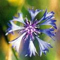 Centaurea cyanus -- Centaurea cyanus (Linnaeus, 1753) Bleuet des champs