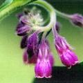Symphytum officinale -- Symphytum officinale (Linnaeus, 1753) Oreille d'âne - Langue de vache - Confée - Consoude officinale - Grande consoude