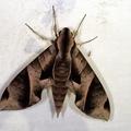 Eumorpha anchemolus -- Eumorpha anchemolus (Cramer, 1780)