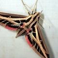 Eumorpha fasciatus fasciatus -- Eumorpha fasciatus fasciatus (Sulzer 1776)