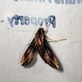 Xylophanes guianensis -- Xylophanes guianensis (Rothschild, 1894)