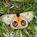 Automeris liberia