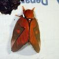 Schausiella polybia -- Schausiella polybia (Stoll, 1781)