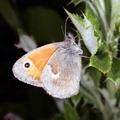 Coenonympha pamphilus -- Coenonympha pamphilus (Linnaeus, 1758) Procris - Fadet commun