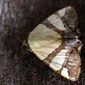 Eulepidotis juliata -- Eulepidotis juliata, (Stoll, 1790)