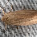 Mythimna pudorina -- Aletia pudorina (Denis & Schiffermüller, 1775) Noctuelle pudorine