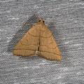 Polypogon tentacularia -- Polypogon tentacularia (Linnaeus, 1758) Herminie de la Garance