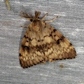 Lymantria dispar -- Lymantria dispar (Linnaeus, 1758)