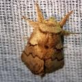 Trichiura crataegi -- Trichiura crataegi (Linnaeus, 1758) Bombyx de l'aubépine