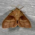 Macrothylacia rubi -- Macrothylacia rubi (Linnaeus, 1758) Bombyx de la ronce