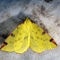 Opisthograptis luteolata -- Opisthograptis luteolata (Linnaeus, 1758) Citronnelle rouillée - Phalène de l'Alisier