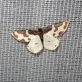 Lomaspilis marginata -- Lomaspilis marginata (Linnaeus, 1758) Bordure entrecoupée - Marginée