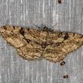 Hypomecis roboraria -- Hypomecis roboraria (Denis & Schiffermüller, 1775) Boarmie du chêne - Phalène du rouvre