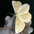Angerona prunaria -- Angerona prunaria (Linnaeus, 1758) Angéronie du prunier - Phalène du noisetier
