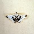 Berberodes fasciata -- Berberodes fasciata (Warren, 1909)