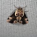 Thyatira batis -- Thyatira batis (Linnaeus, 1758) Batis