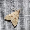 Mecyna asinalis -- Mecyna asinalis (Hübner, 1819)