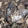 Cossus cossus -- Cossus cossus (Linnaeus, 1758) Gâte-bois - Cossus ronge-bois
