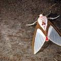 Eupsodosoma larissa -- Eupsodosoma larissa (Druce, 1890)
