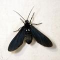 Psoloptera leucosticta -- Psoloptera leucosticta (Hübner, 1827)