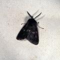 Diaphora mendica -- Diaphora mendica (Clerck, 1759) Ecaille mendiante - Mendiante