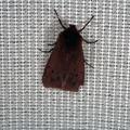 Phragmatobia fuliginosa -- Phragmatobia fuliginosa (Linnaeus, 1758) Ecaille cramoisie