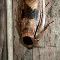 Blaberus giganteus -- Blaberus giganteus (Linnaeus, 1758)