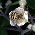 Trichius fasciatus -- Trichius fasciatus (Linnaeus, 1758) Trichie fasciée - Scarabée-abeille