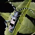 Rosalia alpina -- Rosalia alpina (Linné, 1758) Rosalie des Alpes - Rosalie alpine