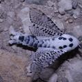 Zeuzera pyrina -- Zeuzera pyrina (Linnaeus, 1761) Coquette, Zeuzère du poirier, Zeuzère du marronnier