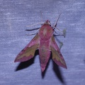Deilephila porcellus -- Deilephila porcellus (Linnaeus, 1758) Petit sphinx de la vigne