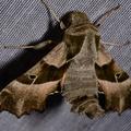 Proserpinus proserpina -- Proserpinus proserpina (Pallas, 1772) Sphinx de l'épilobe, Sphinx de l'oenothère