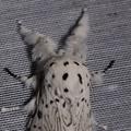Cerura erminea -- Cerura erminea (Esper, 1783) Hermine