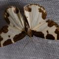 Lomaspilis marginata -- Lomaspilis marginata (Linnaeus, 1758) Bordure entrecoupée, Marginée