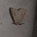 Spilosoma lubricipeda -- Spilosoma lubricipeda (Linnaeus, 1758) Ecaille de la menthe, Ecaille tigrée
