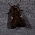 Xestia c-nigrum -- Xestia c-nigrum (Linnaeus, 1758) C noir