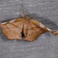 Apeira syringaria -- Apeira syringaria (Linnaeus, 1758) Ennomos du lilas