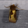 Diachrysia chrysitis -- Diachrysia chrysitis (Linnaeus, 1758) Vert-doré, Plusie vert-doré
