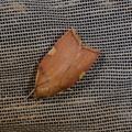 Carcina quercana -- Carcina quercana (Fabricius, 1775) L'Oecophore rosée, Le Phibalocère du hêtre