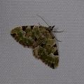 Colostygia pectinataria -- Colostygia pectinataria (Knoch, 1781) Cidarie verdâtre